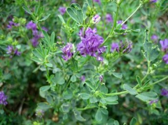 alfalfa-herbal-remedies-1