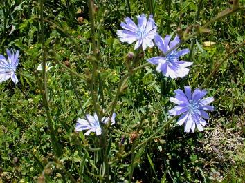 Chicory_01.jpg